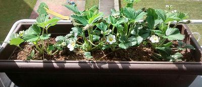 flores de fresas en el alfeizar de la ventana