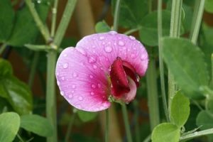 flor del guisante rosa con gotas de agua