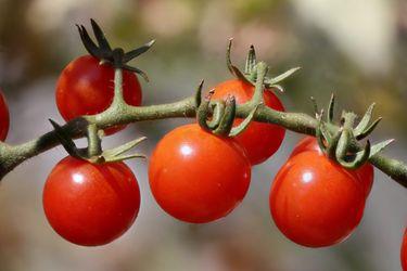 tomates cherry rojos