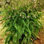 Consuelda rusa, una planta indispensable en el huerto y jardín.