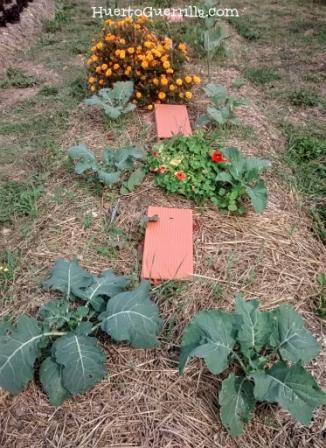 huerto bancal con hortalizas y flores