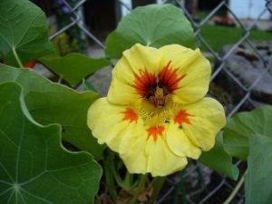 flor de capuchina amarilla