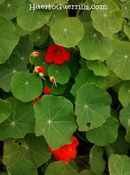 foto mata planta capuchina flores rojas