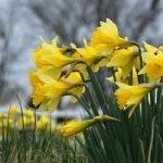 foto narcisos de trompeta en flor