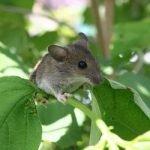 ¿Cómo ahuyentar ratones de campo? 10 métodos