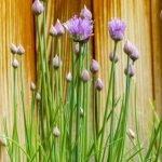 ¿Cuándo y cómo cosechar  plantas aromáticas?
