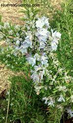 planta de romero en flor