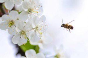 abeja en flor blanca, manzano.