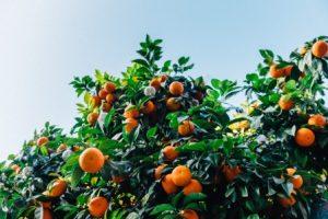 mandarinas en el árbol