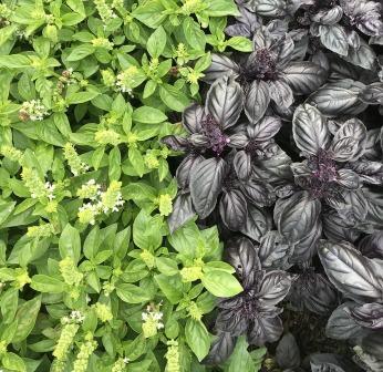 albahaca verde y albahaca morada
