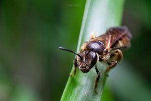 abeja solitaria posada en un hoja verde