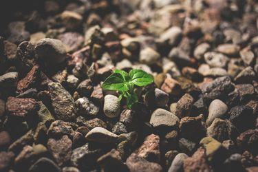 una planta en suelo pedregoso.