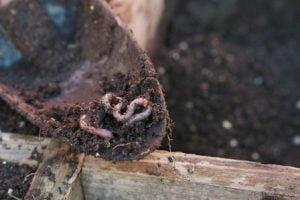 lombrices en la pala de jardinería.