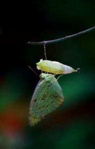 de gusano a mariposa verde