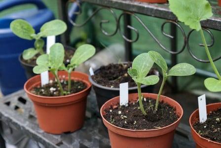 Plantas de calabacín en macetas