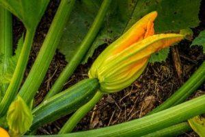 calabacín con flor