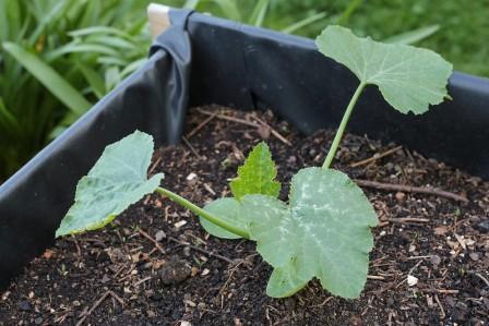 Planta de calabacín en recipiente