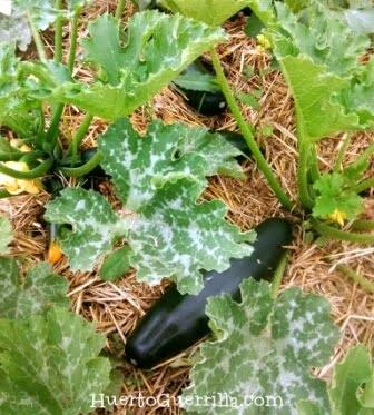 plantas de calabacines con acolchado