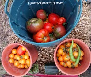 comer tomates de diferentes tamaños y colores