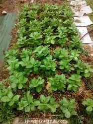 bancal de cultivo de una huerta cultivado con habas