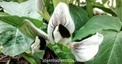 flor del haba abierta. De color blanca y negra. Atrae a multiples polinizadores.