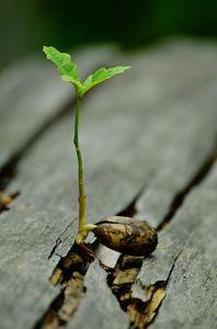 bellota germinando en una madera