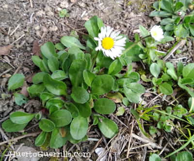 Margarita silvestre con flor abierta.