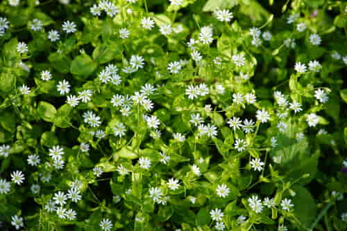 flores de la planta Stellaria o planta de los canarios.
