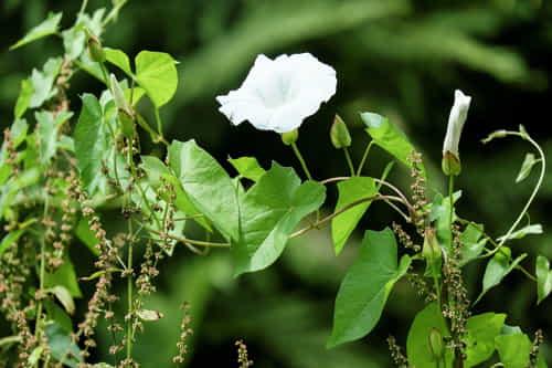 hojas y flores de la mala hierba correhuela