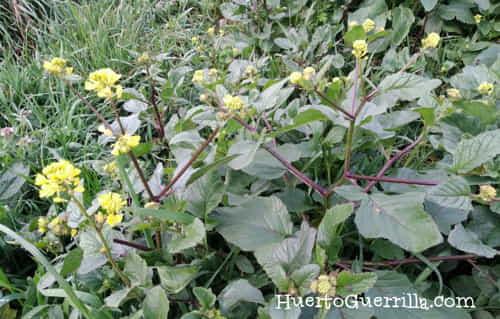 planta de colza o Brassica napus. En sí no es una mala hierba, pero su semillas es duradera y viene de los cultivos de alrededor.