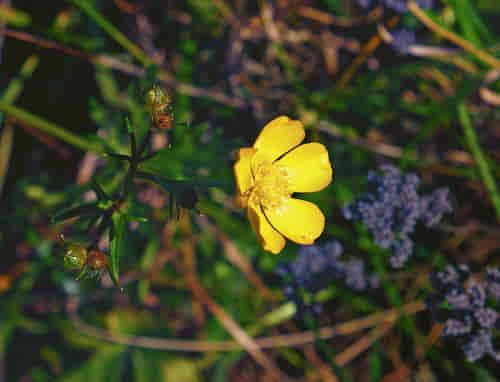 Flor amarilla de la hierba silvestre ranunculus