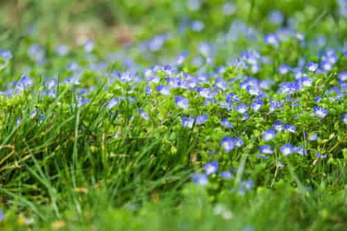 planta veronica con pequeñas flores azules y blancas.